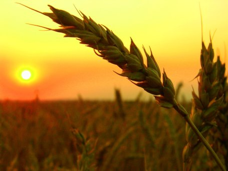 wheat-field-harvest-sunset
